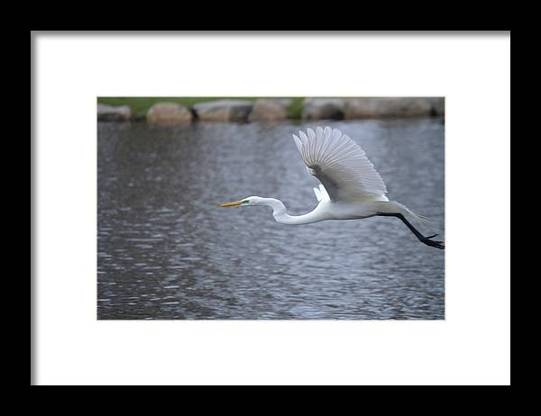 Egret Framed Print featuring the photograph Great Egret by Jessica Cruz