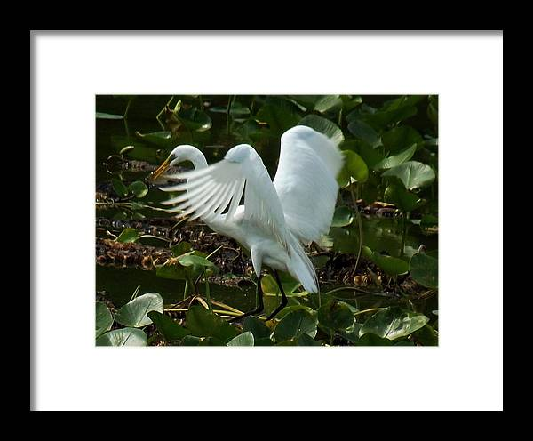 Egret Framed Print featuring the photograph Great Egret Pose by Charleen Borchers