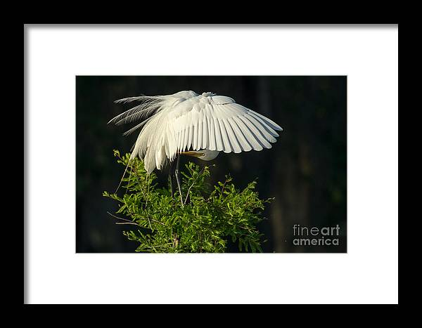 Great Egret Framed Print featuring the photograph Great Egret Preening by Kelly Morvant