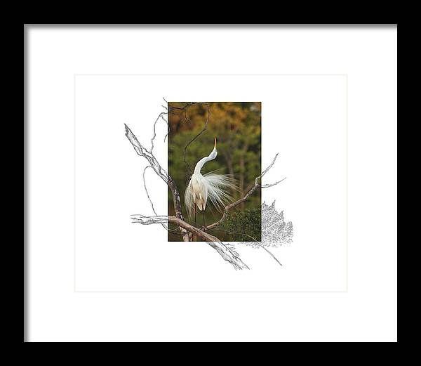 Great Egret Framed Print featuring the photograph Great Egret - stretch by Andrew McInnes