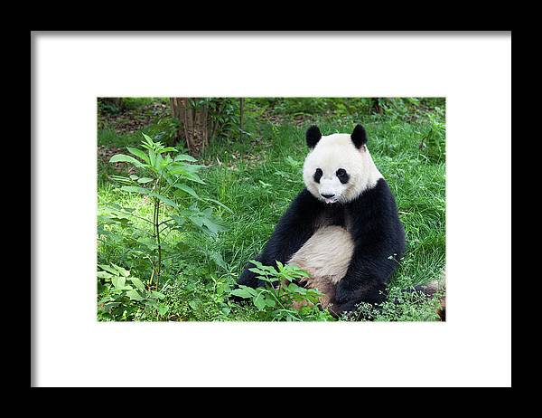 Chinese Culture Framed Print featuring the photograph Great Panda Showing Its Tongue - by Fototrav