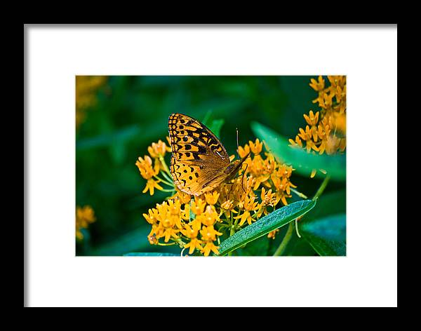 Butterflies Framed Print featuring the photograph Great Spangled Fritillarie Ins 77 by G L Sarti