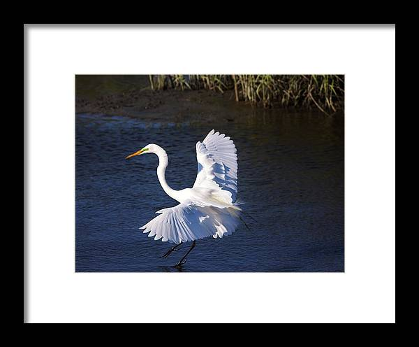 Egret Framed Print featuring the photograph Great White Egret Landing by Paulette Thomas