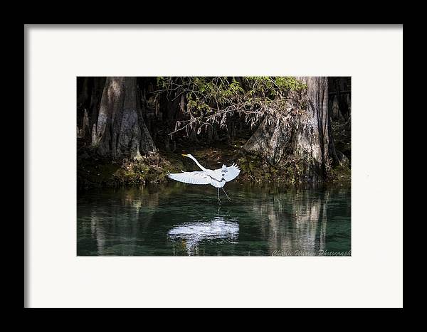 Heron Framed Print featuring the photograph Great White Heron In Flight by Charles Warren