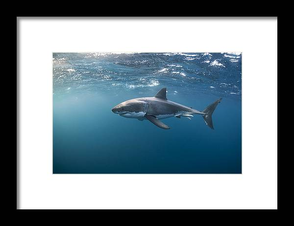 Port Lincoln Framed Print featuring the photograph Great White Shark at the Surface by Alastair Pollock Photography