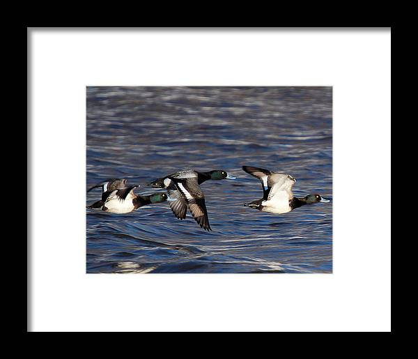 Greater Scaup Ducks Framed Print featuring the photograph Greater Scaup Drakes Flight by John Dart