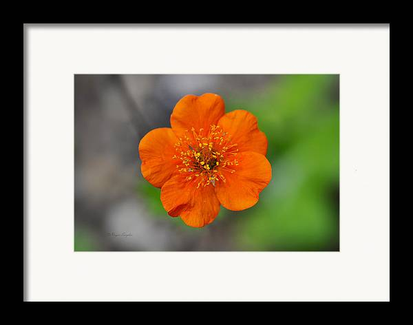 Beautiful Photos Framed Print featuring the photograph Grecian Rose Close 1 by Roger Snyder