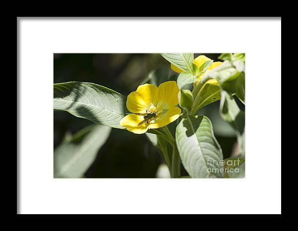 Metallic Green Bee Framed Print featuring the photograph Green Bee by Kristy Ollis