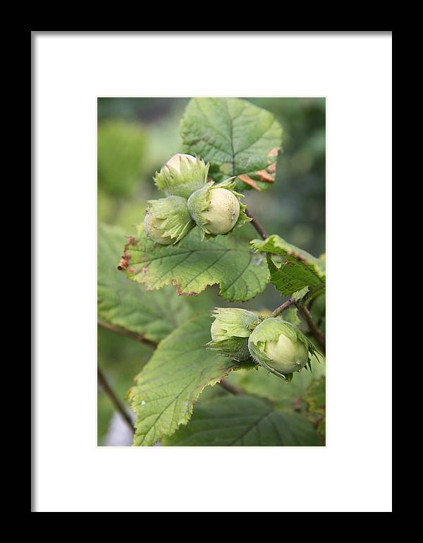 Hazelnuts Framed Print featuring the photograph Green Hazelnuts by Christiane Schulze Art And Photography