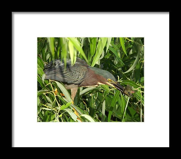 A Green Heron Catching His Food. Framed Print featuring the photograph Green Heron by Dennis Sotolongo
