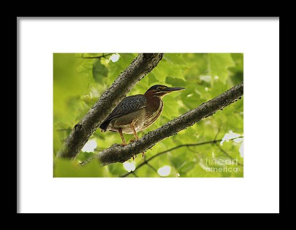 Green Heron Framed Print featuring the photograph Green Heron by Liam Brennan