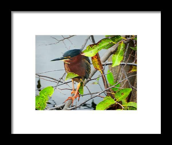 Bird Framed Print featuring the photograph Green Heron by Randy Bell