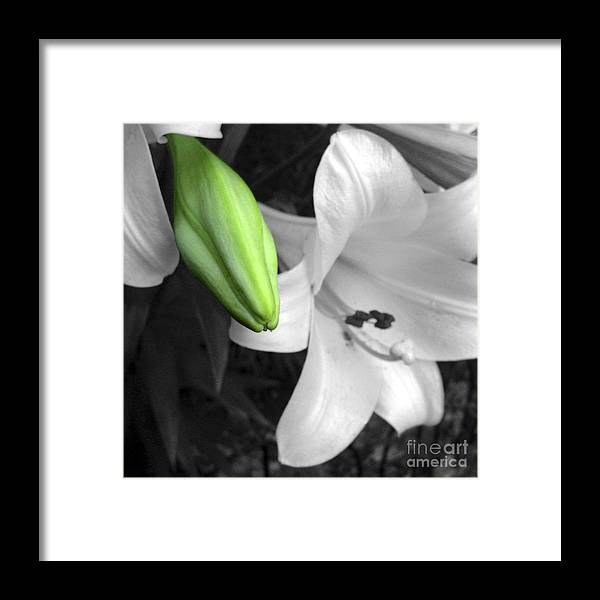 Lily Framed Print featuring the photograph Green Lily Bud by Stephen Prestek