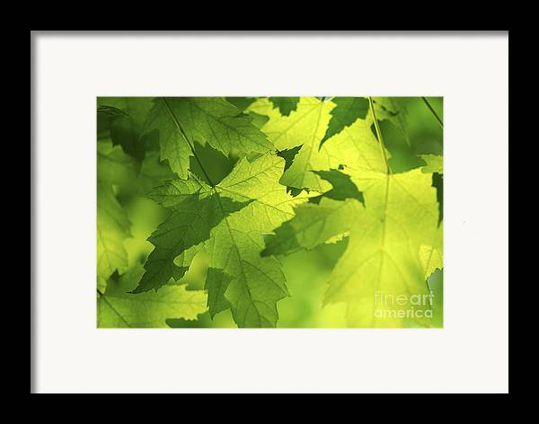 Leaf Framed Print featuring the photograph Green Maple Leaves by Elena Elisseeva