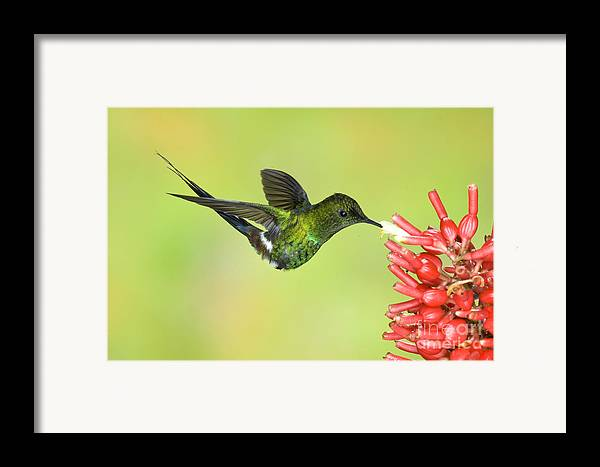 Animal Framed Print featuring the photograph Green Thorntail Hummingbird by Anthony Mercieca