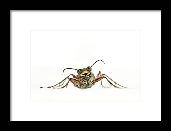 White Background Framed Print featuring the photograph Green Tiger Beetle by Robert Trevis-smith
