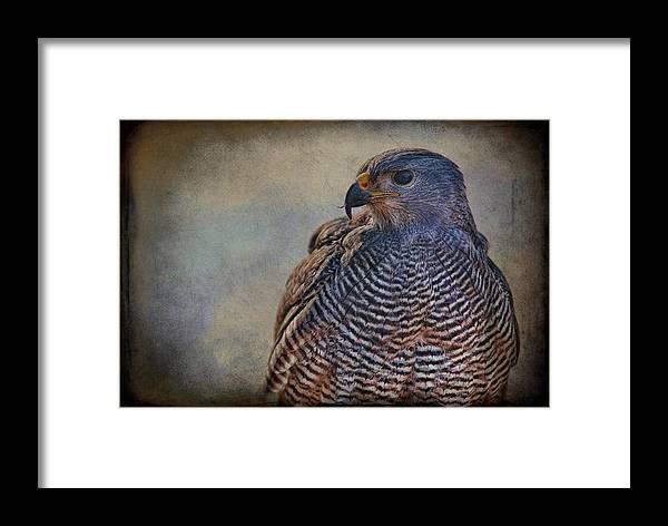 Grey Hawk Framed Print featuring the photograph Grey Hawk by Barbara Manis