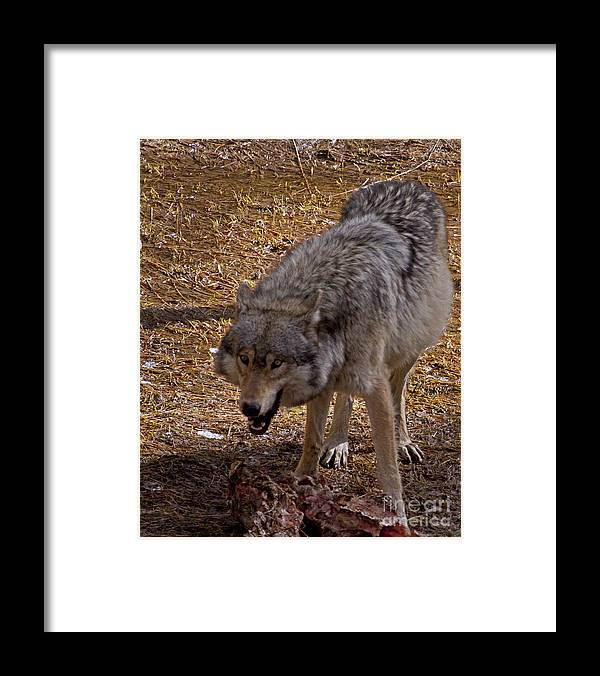 Canis Lupus Framed Print featuring the photograph Grey Wolf  #2637-signed by J L Woody Wooden