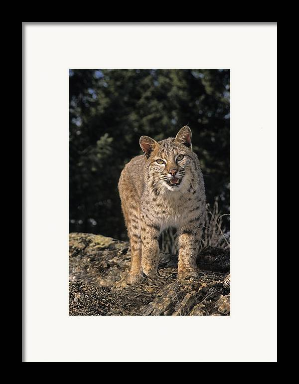 Bobcats Framed Print featuring the photograph G&r.grambo Mm-00006-00275, Bobcat On by Rebecca Grambo