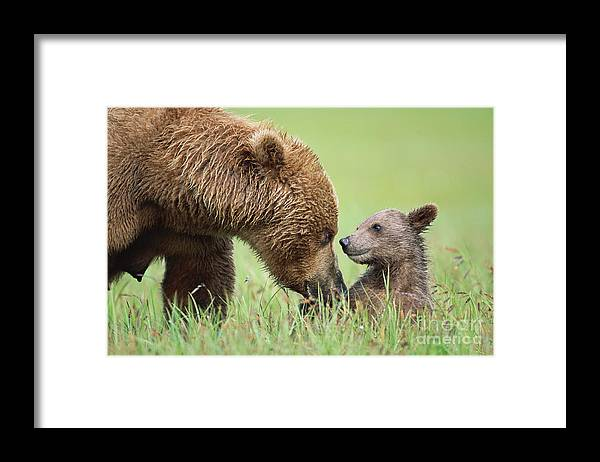 00345260 Framed Print featuring the photograph Grizzly Bear And Cub in Katmai by Yva Momatiuk John Eastcott