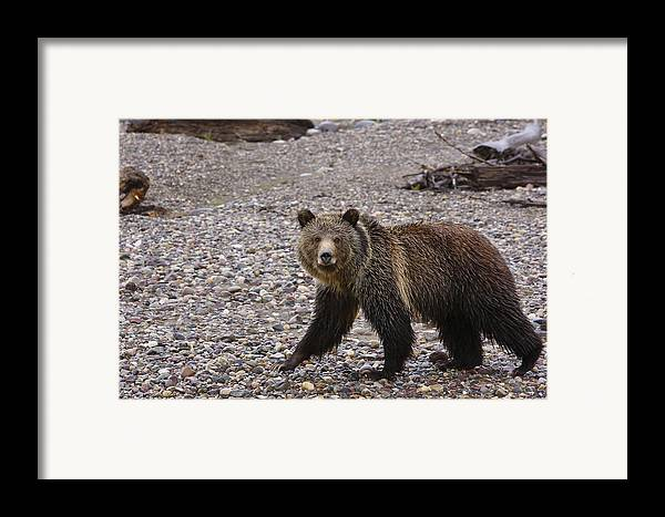 Grizzly Bear Framed Print featuring the pyrography Grizzly Bear by Charles Warren