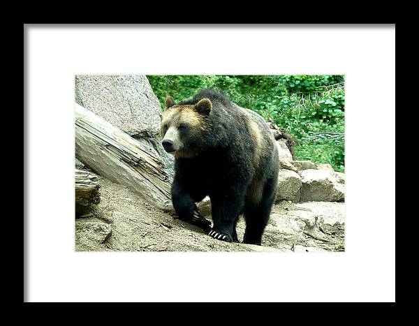 Colorado Zoo Framed Print featuring the photograph Grizzly Bear by Marilyn Burton