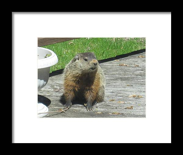 Wildlife Framed Print featuring the photograph Groundhog Holding A Stick by Tara Shalton