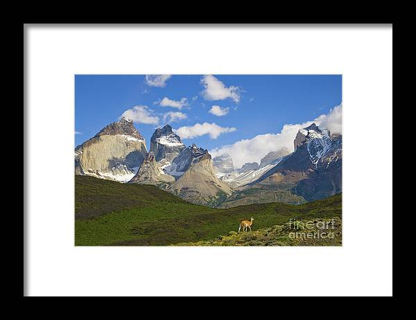 00345710 Framed Print featuring the photograph Guanaco And Cuernos Del Paine Peaks by Yva Momatiuk John Eastcott