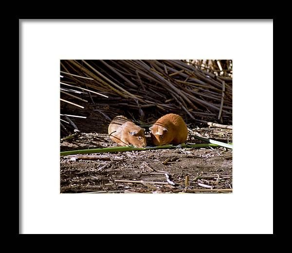 Livestock Framed Print featuring the photograph Guinea Pig Livestock At Lake Titicaca Peru by Jared Bendis