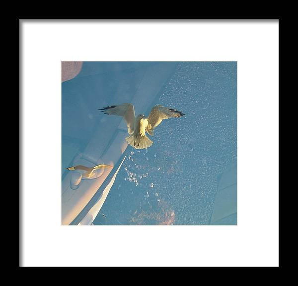 Seagull Framed Print featuring the photograph Gull Catching Popcorn by Susan Wyman