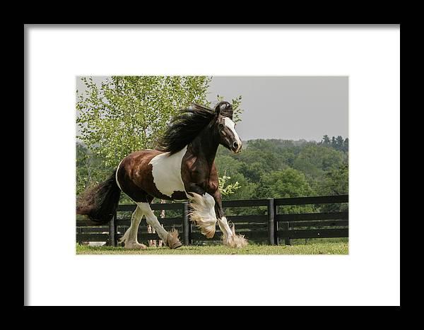 Adam Jones Framed Print featuring the photograph Gypsy Vanner Horse Running, Crestwood by Adam Jones