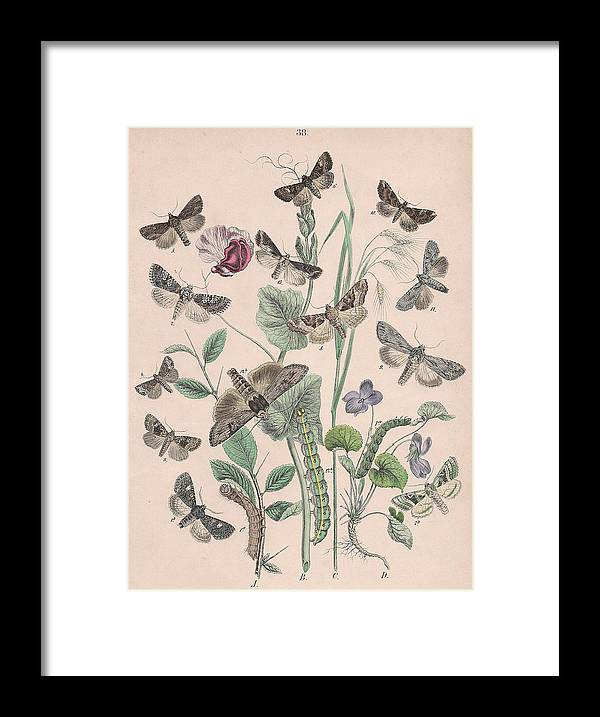 Butterfly Framed Print featuring the drawing Hadenidae - Xylinidae by W Kirby