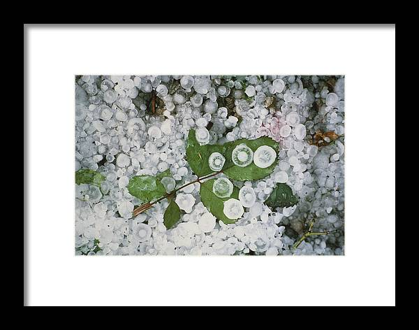 Ampelupsis Leaves Framed Print featuring the photograph Hailstones And Leaves by Perennou Nuridsany