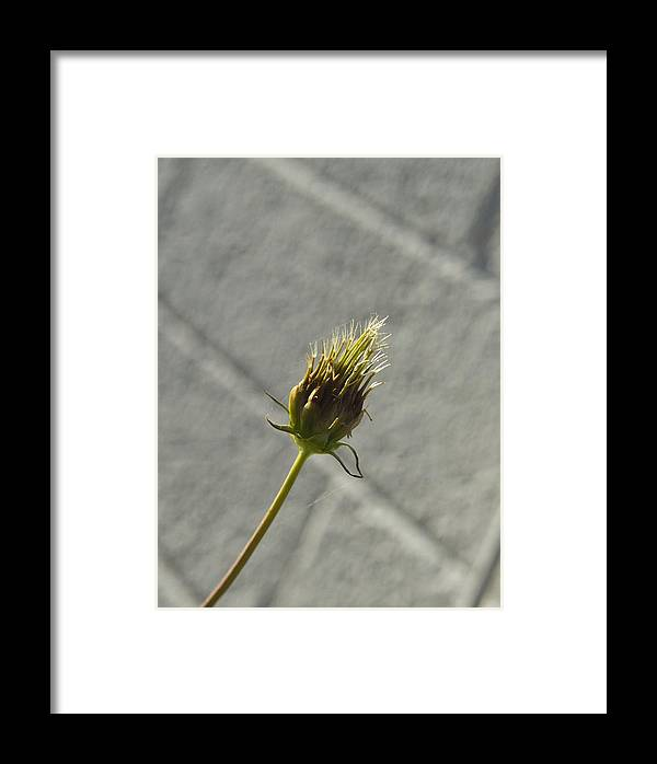 Hairy Framed Print featuring the photograph Hairy Plant Seed Pod 1 by Douglas Barnett