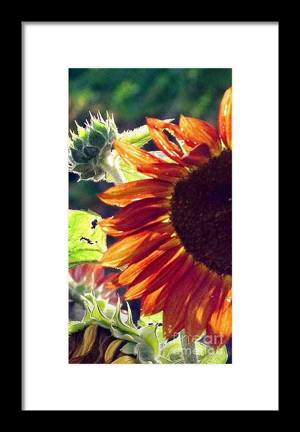 Sunflower Framed Print featuring the photograph Half Of A Sunflower by Madeline Ellis