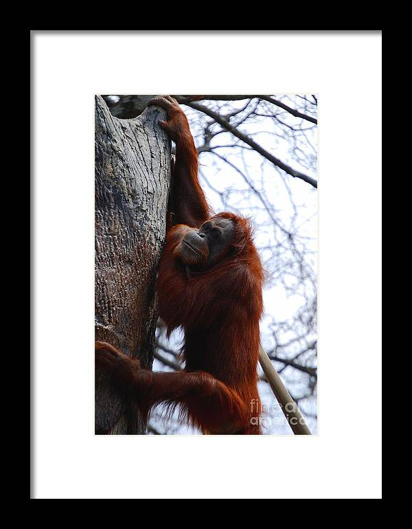 Orangutan Framed Print featuring the photograph Hang In There by Nancy Bradley