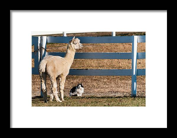 Alpaca Framed Print featuring the photograph Hanging Out by J H Clery