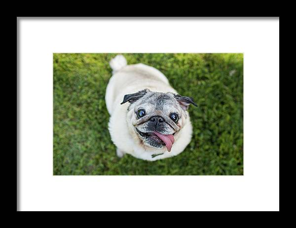 Pets Framed Print featuring the photograph Happy Pug Dog Looks Up At Camera by Purple Collar Pet Photography