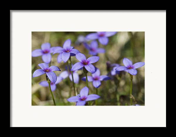 Tiny Bluet Framed Print featuring the photograph Happy Tiny Bluet Wildflowers by Kathy Clark