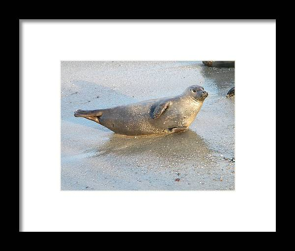 Harbor Seal Framed Print featuring the photograph Harbor Seal by Eric Johansen