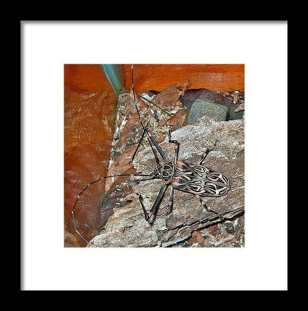 Harlequin Beetle In Butterfly Botanical Garden In Manuel Antonio In Costa Rica Framed Print featuring the photograph Harlequin Beetle In Butterfly Botanical Garden In Manuel Antonio-costa Rica by Ruth Hager