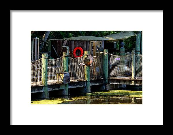Wings Over Water Framed Print featuring the photograph Harris Hawk 2 by Dan Dennison