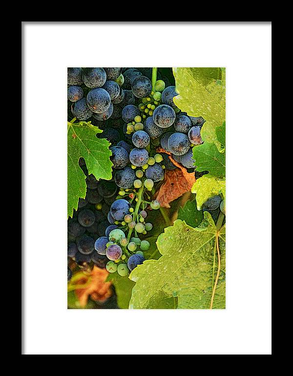 Vineyards Framed Print featuring the photograph Harvest Time 2 by Karen W Meyer