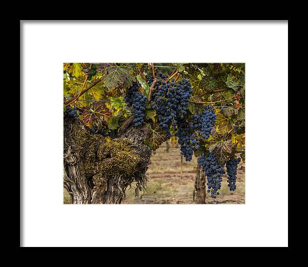 Grapes Framed Print featuring the digital art Harvest Time by Lee Jorgensen