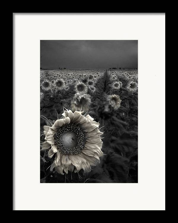 Featured Art Framed Print featuring the photograph Haunting Sunflower Fields 1 by Dave Dilli