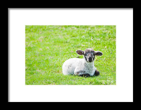 Sheep Framed Print featuring the photograph Have You Any Wool by Cheryl Baxter