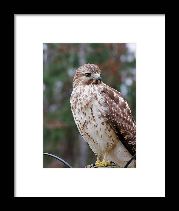 Sharp Shinned Hawk Framed Print featuring the photograph Hawk 001 by Philip Rispin