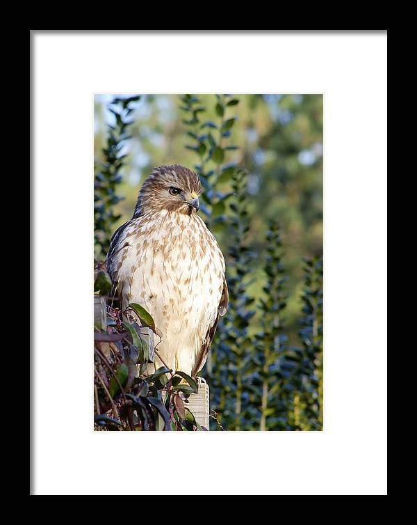 Sharp Shinned Hawk Framed Print featuring the photograph Hawk 002 by Philip Rispin