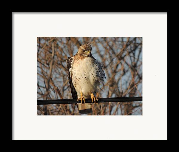 Redtail Hawk Framed Print featuring the photograph Hawk #21 by Todd Sherlock