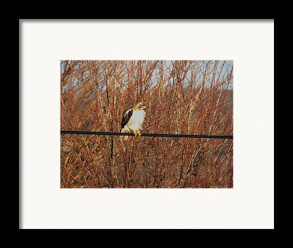 Red Tail Hawk Framed Print featuring the photograph Hawk #22 by Todd Sherlock